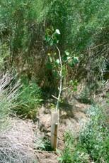 cottonwood_sapling